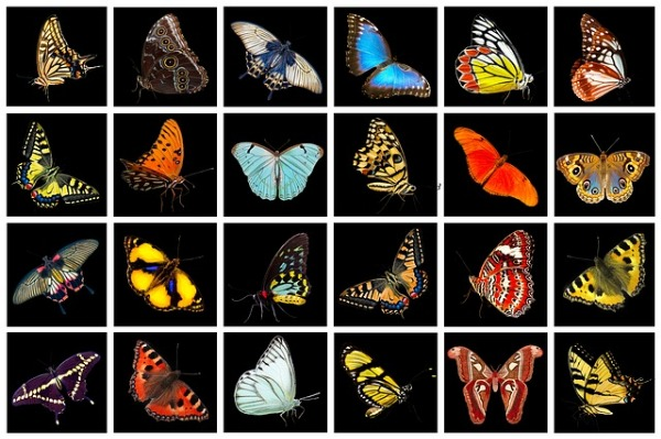 butterfly collection